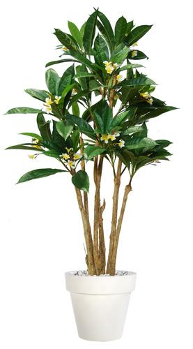 Plumeria Florida 240 cm Green Cream